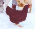 RI Red Large Fowl